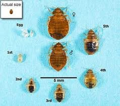 Bed Bug Growth Stanges