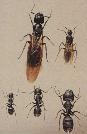 Stages and cast type of carpenter ants